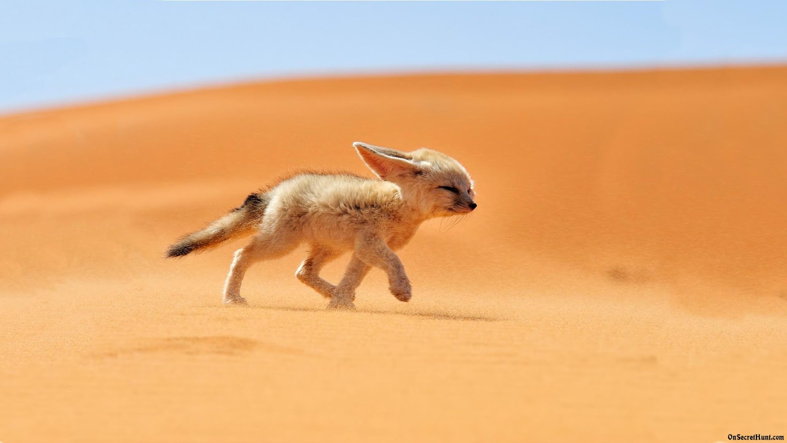 HD Fennec Fox Wallpapers Animals Library 1600x900