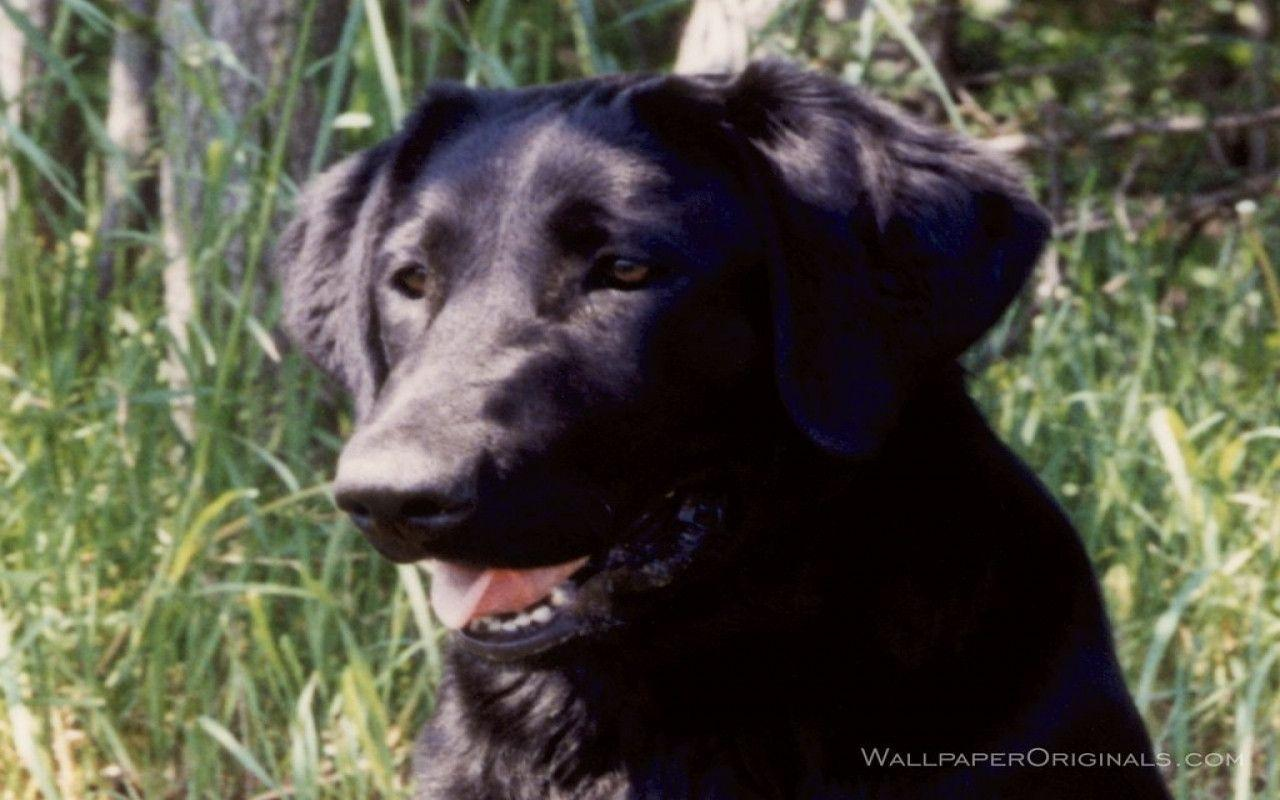 Black Labrador Wallpapers 1280x800