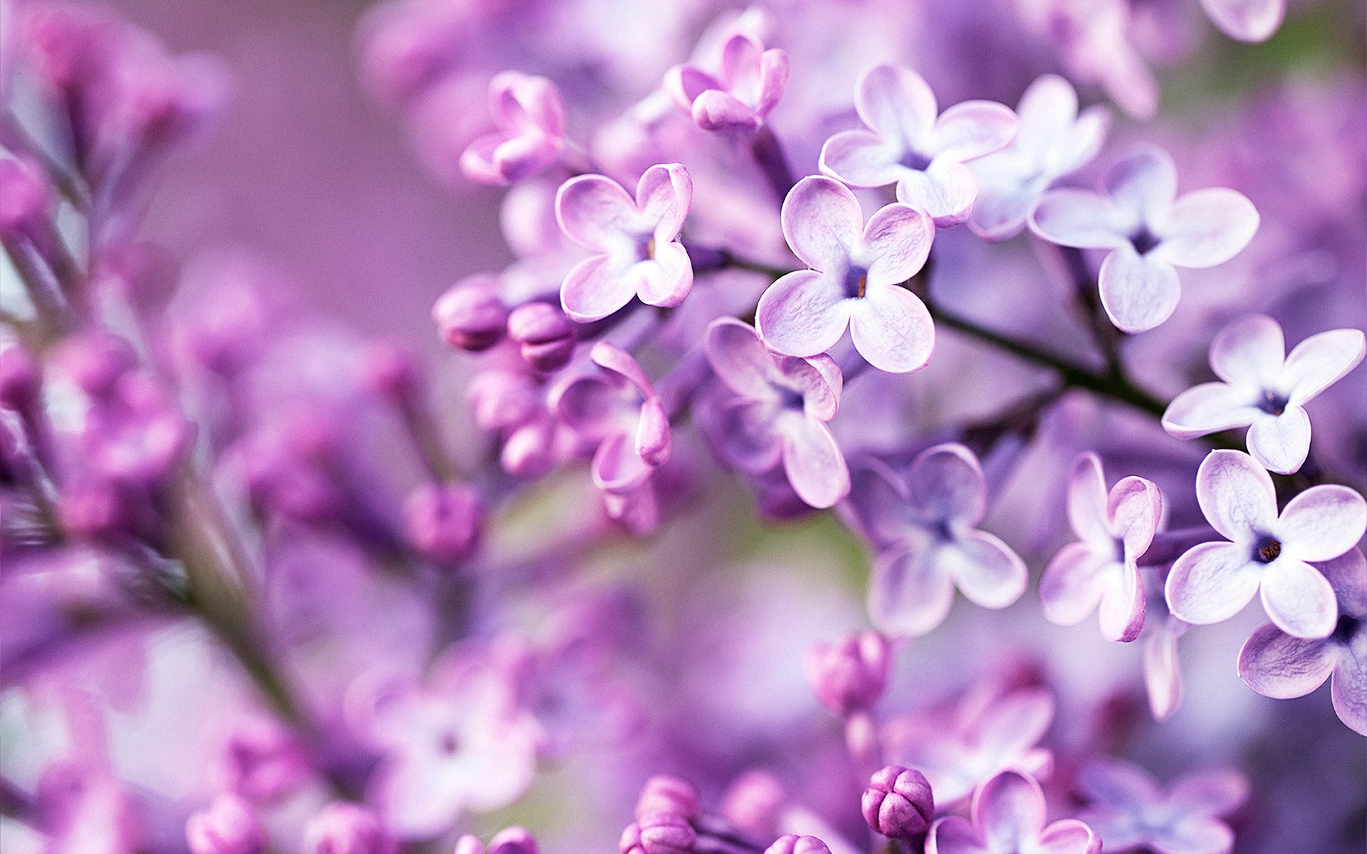 Spring Purple Flowers Wallpapers HD Wallpapers 1920x1200