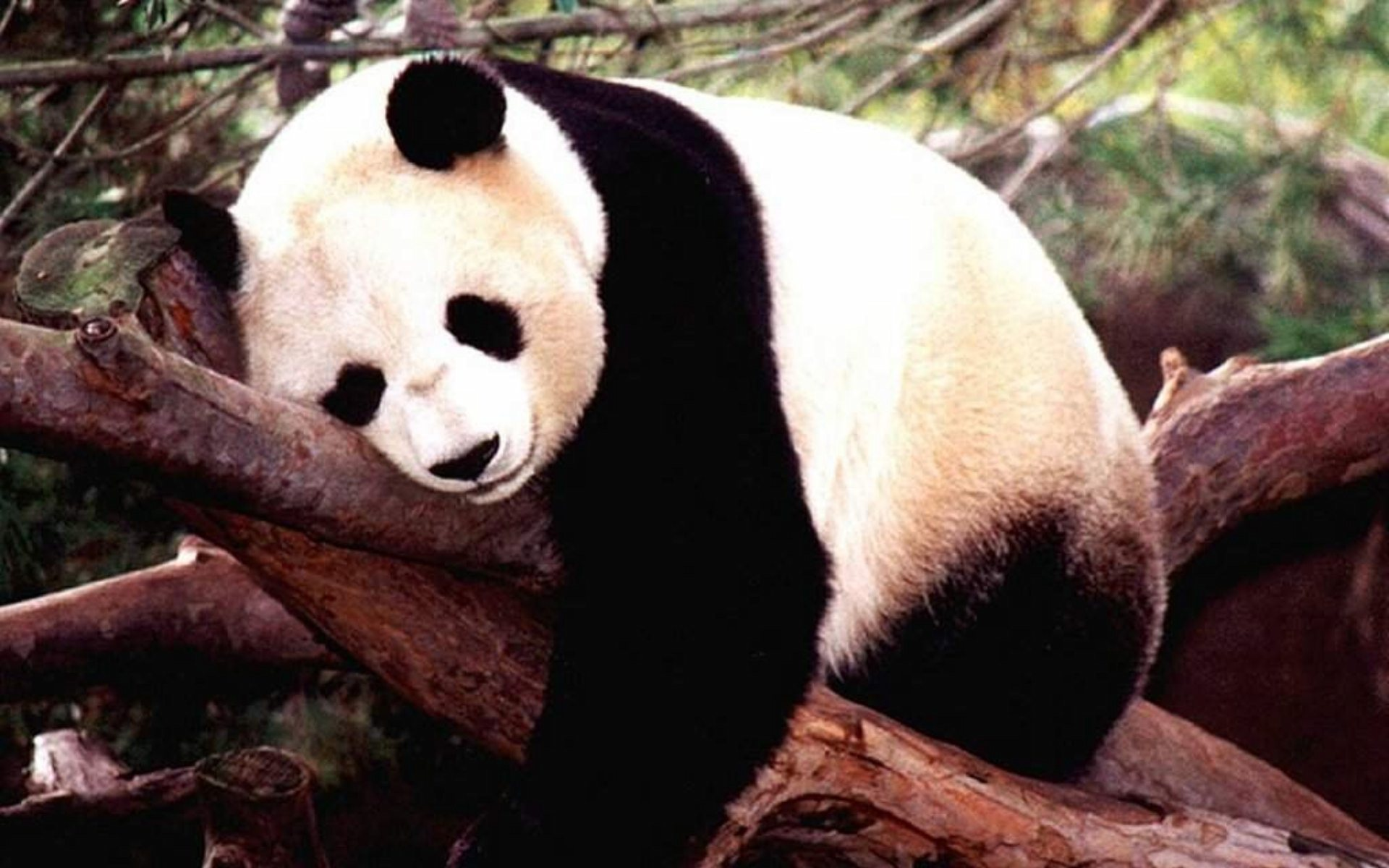 cute panda wallpapers 9366 1920x1200jpgpanda20cute201920x1200 1920x1200