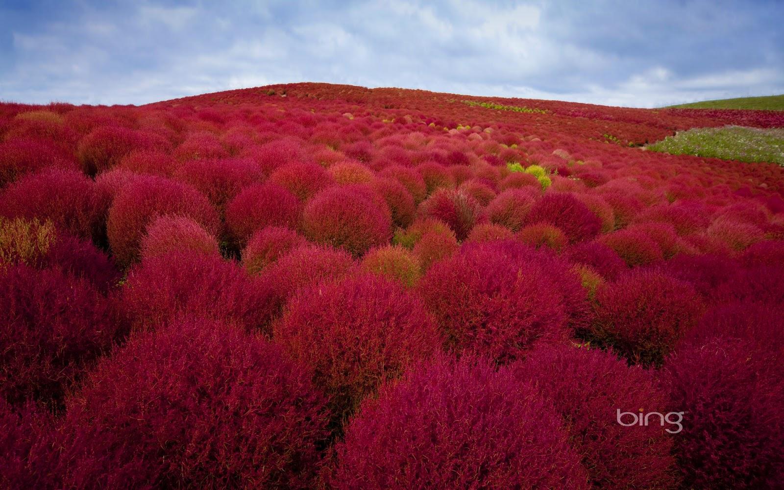 Burning bush plants in Hitachi Seaside Park, Hitachinaka City, Japan ...