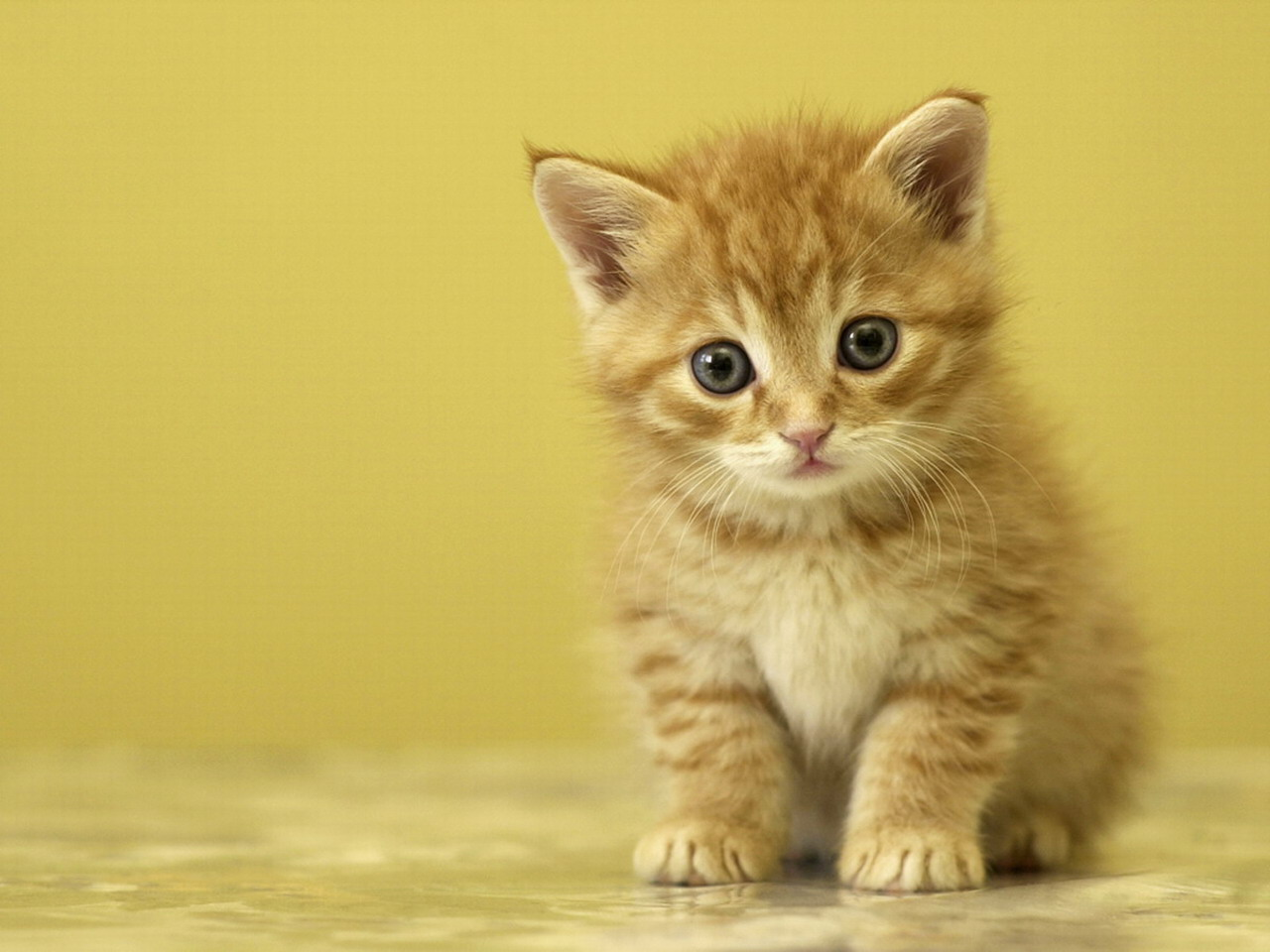 Cute Baby Kittens 9571 Hd Wallpapers in Animals   Imagescicom 1280x960