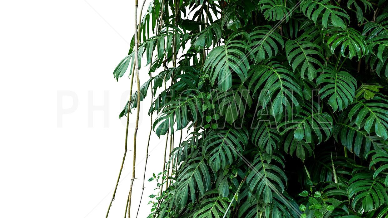 Monstera Tropical Plant wall murals online Photowall 1242x699