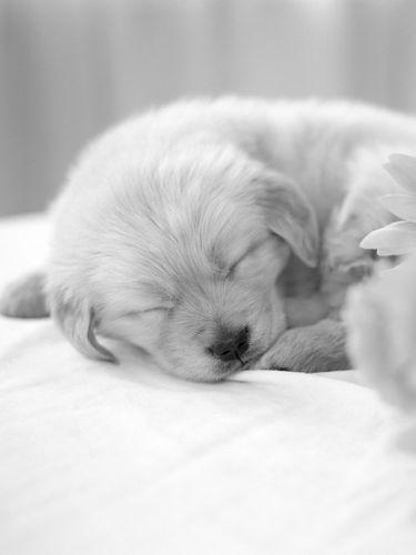 kindle3animalsdogscute puppy sleeps behind sunflowers screensaver 375x500