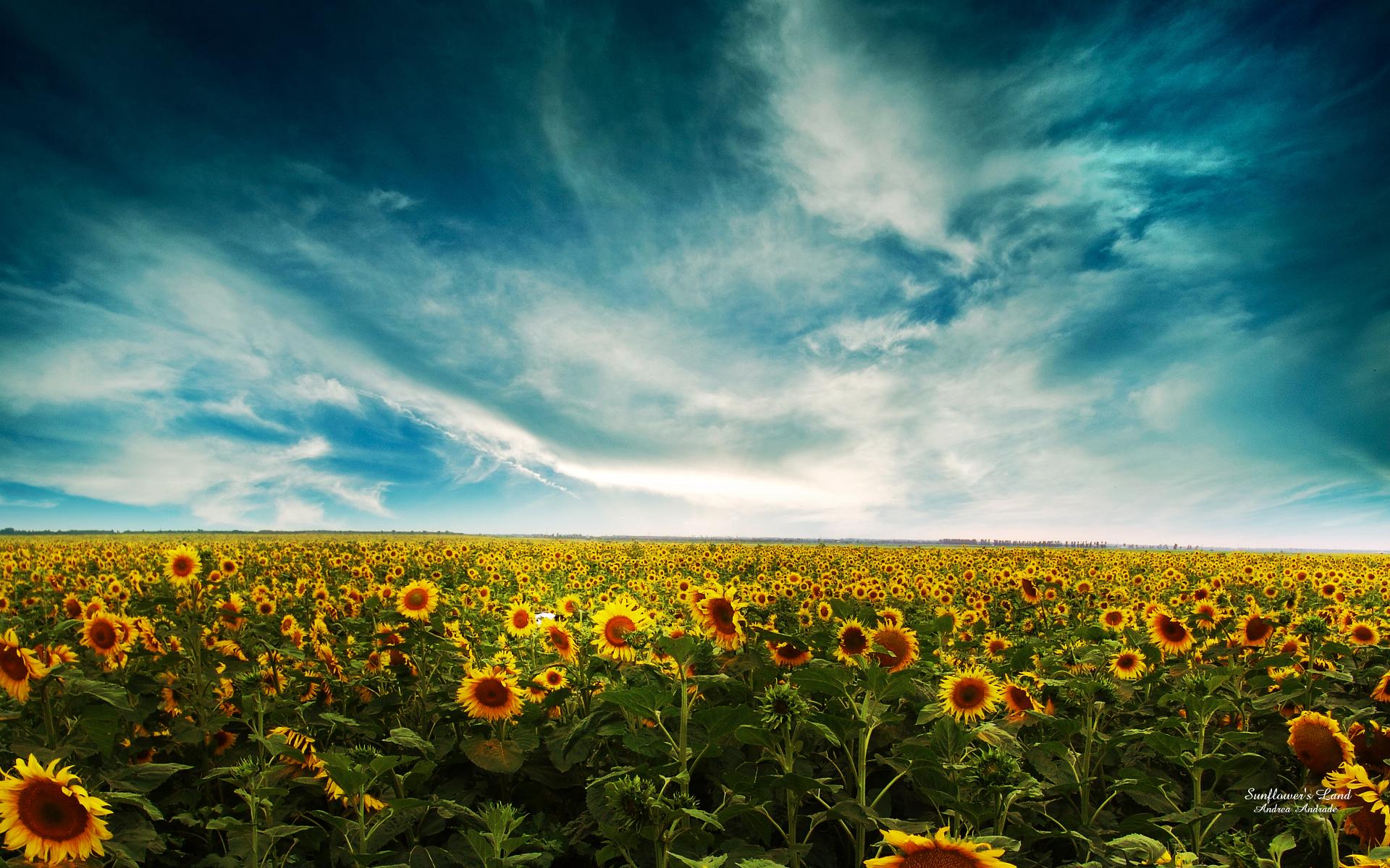 Hd wallpaper landscape - Sunflowers Landscape Wallpapers Hd Wallpapers
