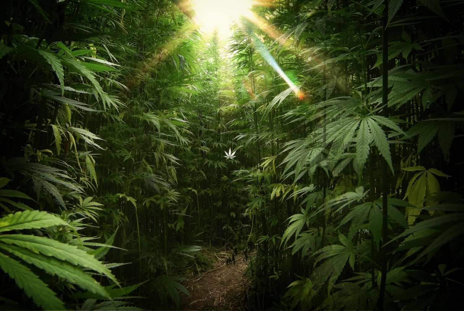 Marijuana HD Wallpaper - WallpaperSafari
