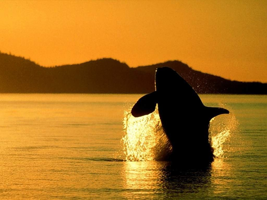 Whale Wallpapers Images and animals Whale pictures 732 1024x768