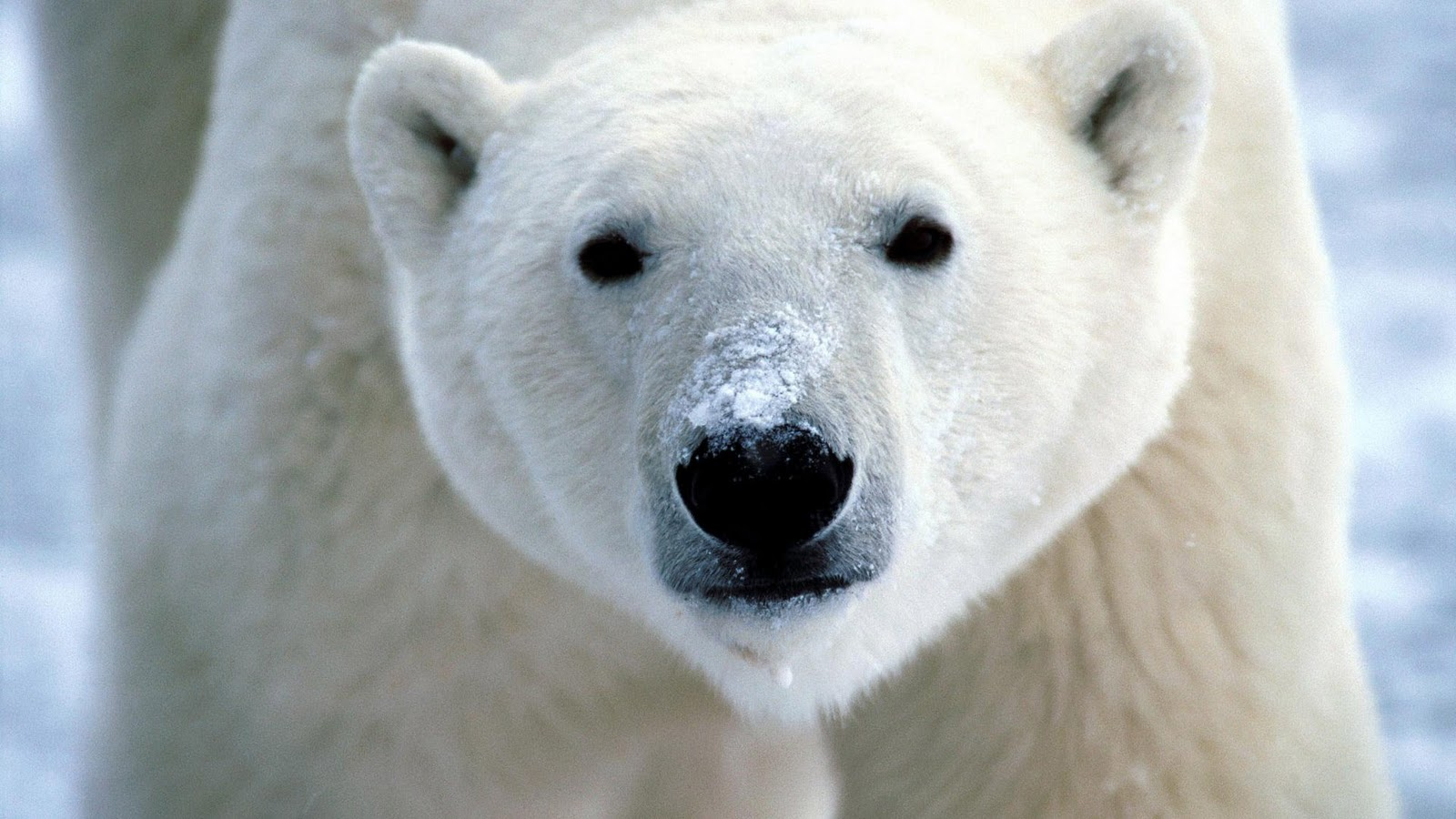 polar bear close up 1920 x 1080 hd