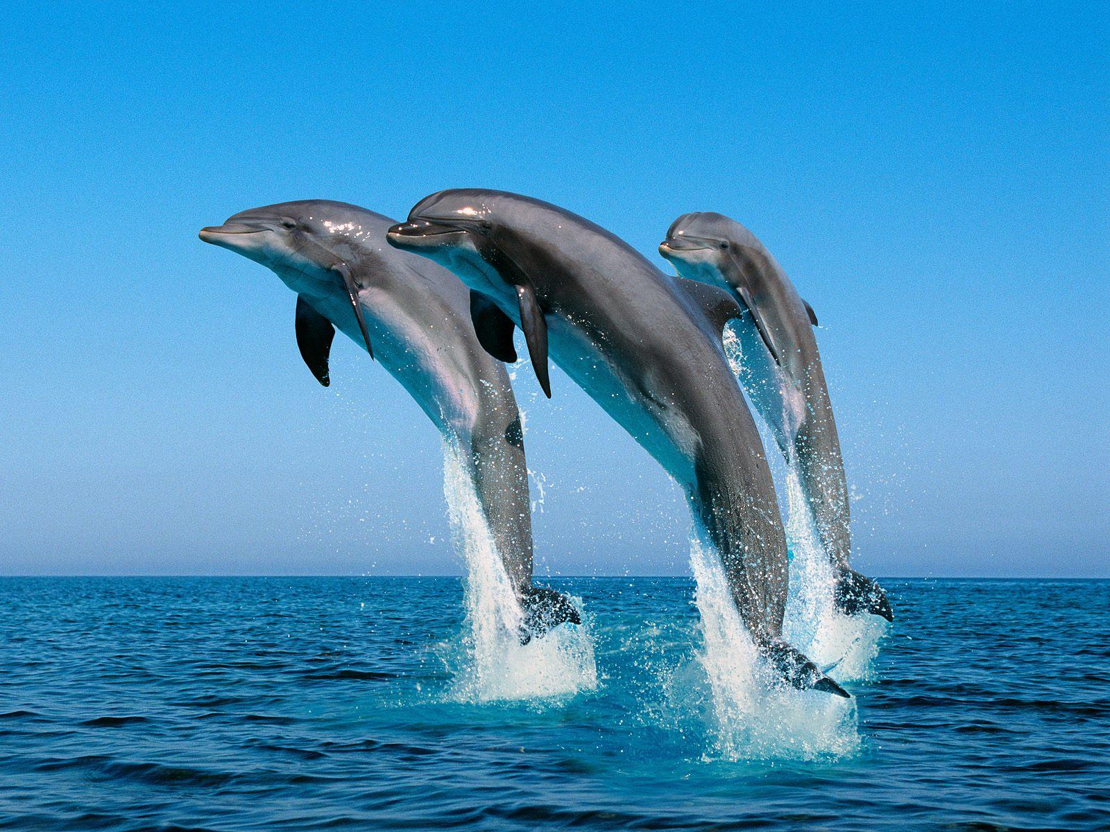 hd dolphin wallpaper hd dolphin wallpaper hd dolphin wallpaper hd 1600x1200