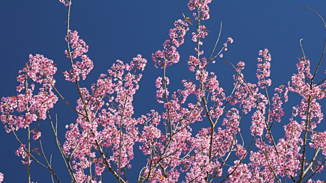 Spring Pink Cherry Blossom And Blue Sky 4k Stock Footage Video Getty 640x360