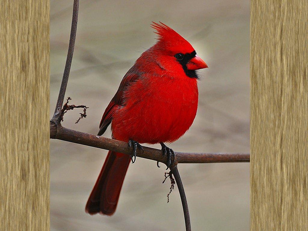 cardenal rojo en el bosque fondo de pantalla   ForWallpapercom 1024x768