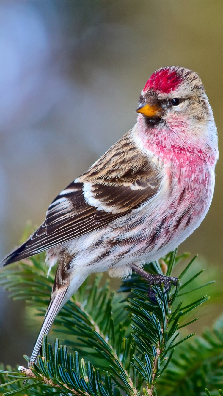 AnimalCommon Redpoll 750x1334 Wallpaper ID 440278   Mobile Abyss 750x1334