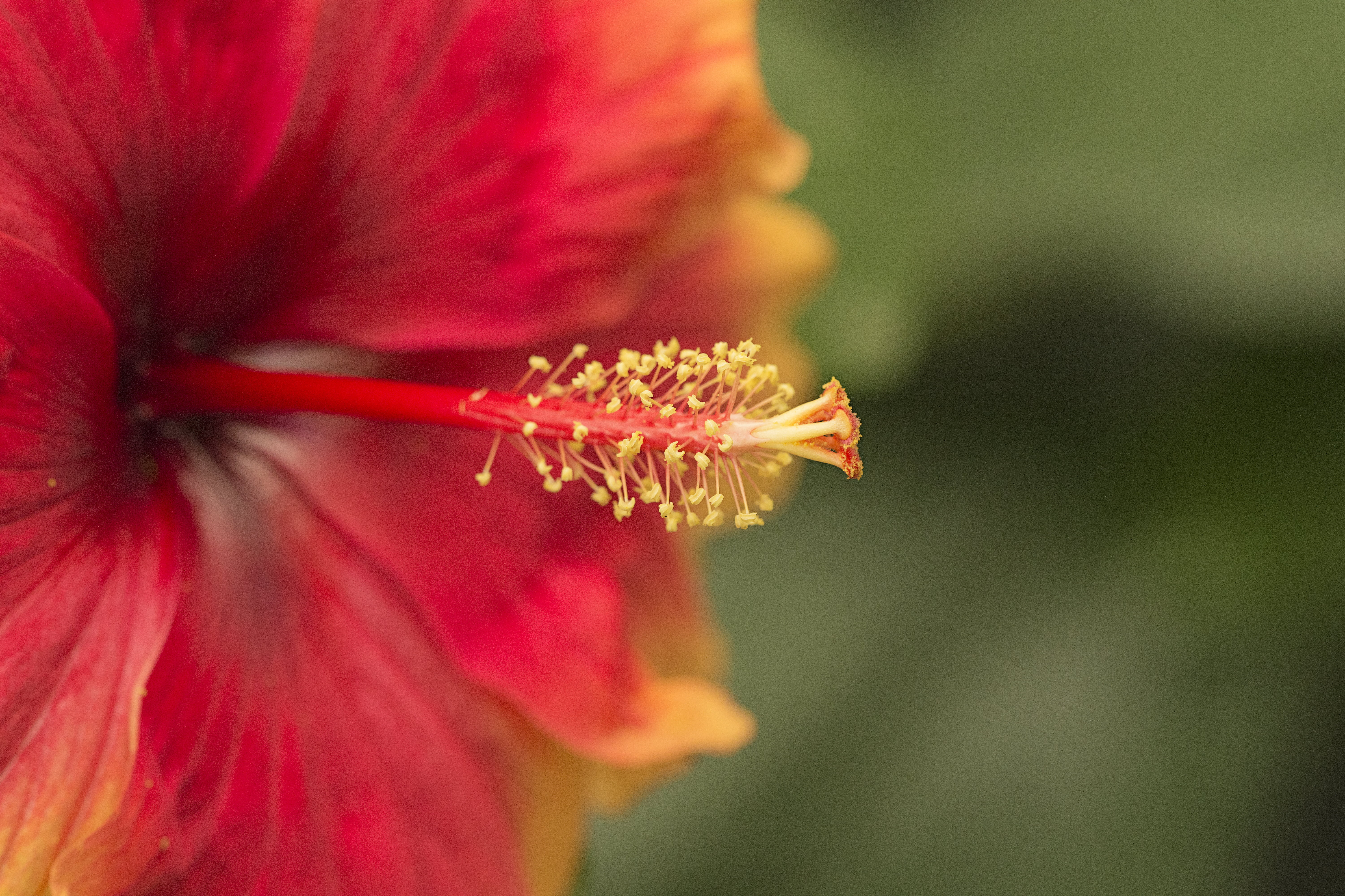 Focus photography of red and yellow Hibiscus HD wallpaper 6000x4000