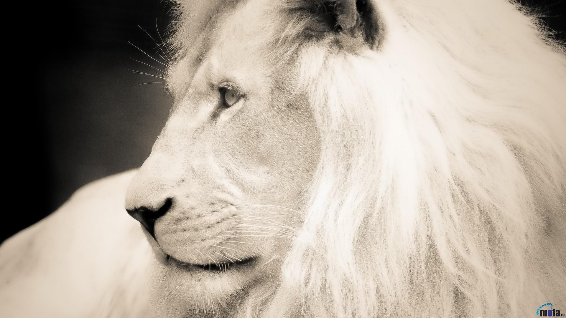White Lion Wallpapers 1920x1080