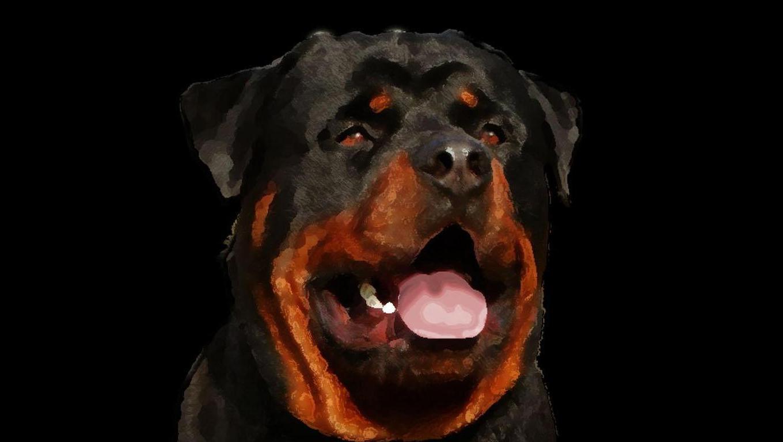 dog breeds dog wallpapers rottweiler dog breeds dog wallpapers 1360x768
