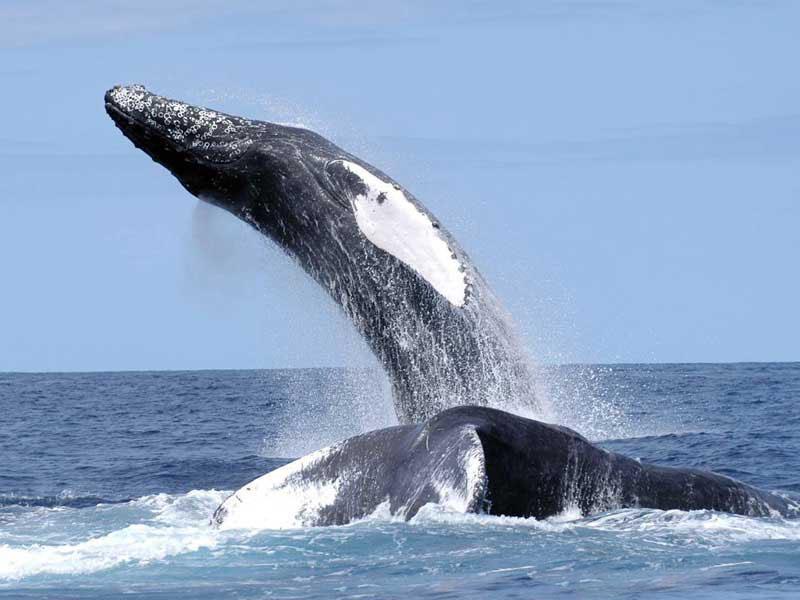 Humpback Whale Megaptera novaeangliae 800x600