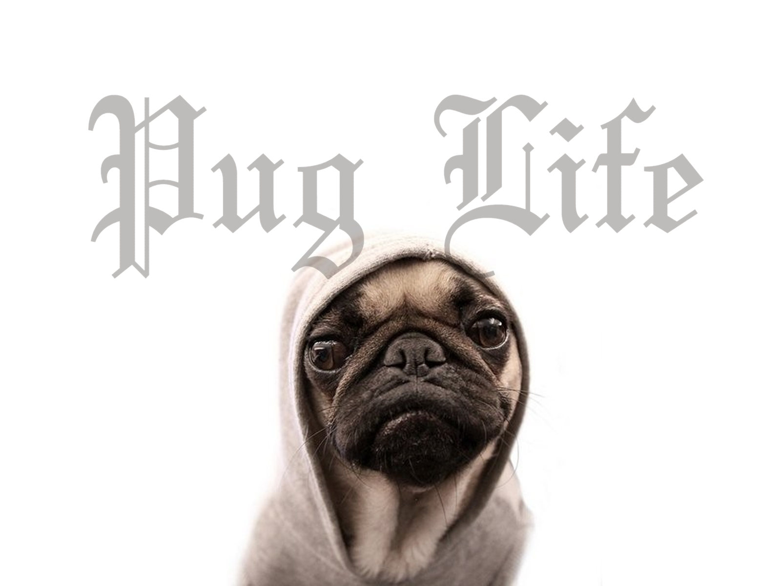 Funny Pug Wallpapers 1600x1200
