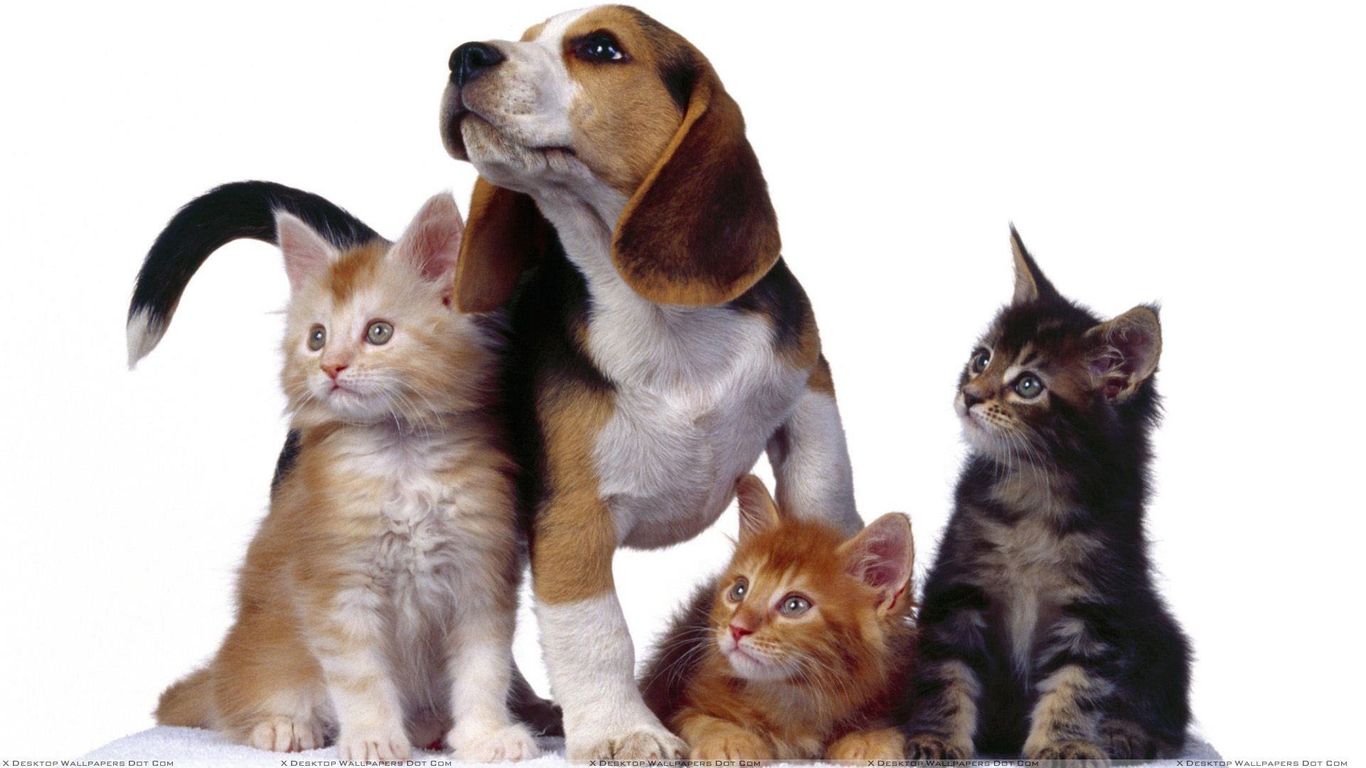 3 Cats With Dog On White Background Wallpaper 1920x1080