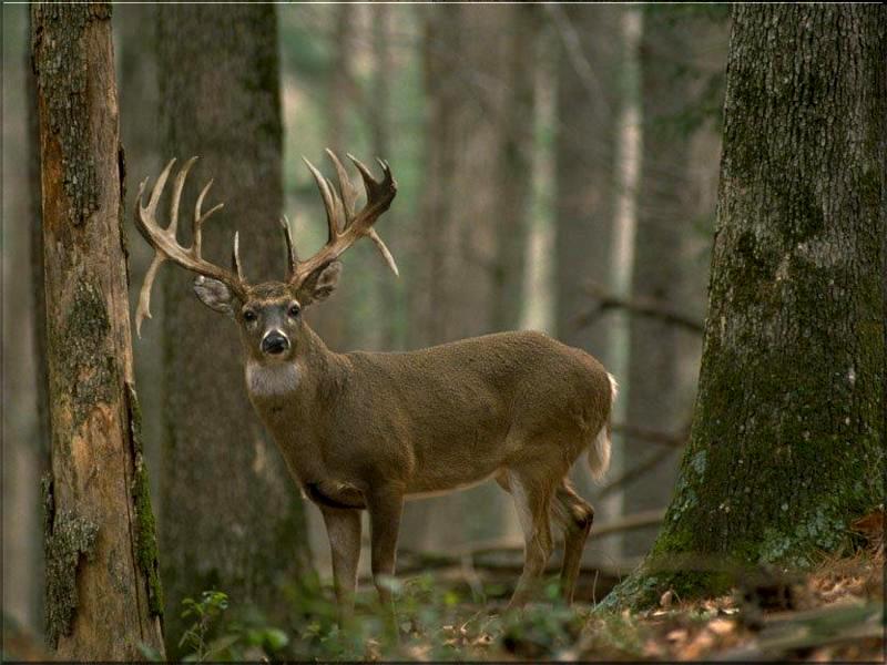 Deer 01   Deer Images Wallpaper Ecard 800x600