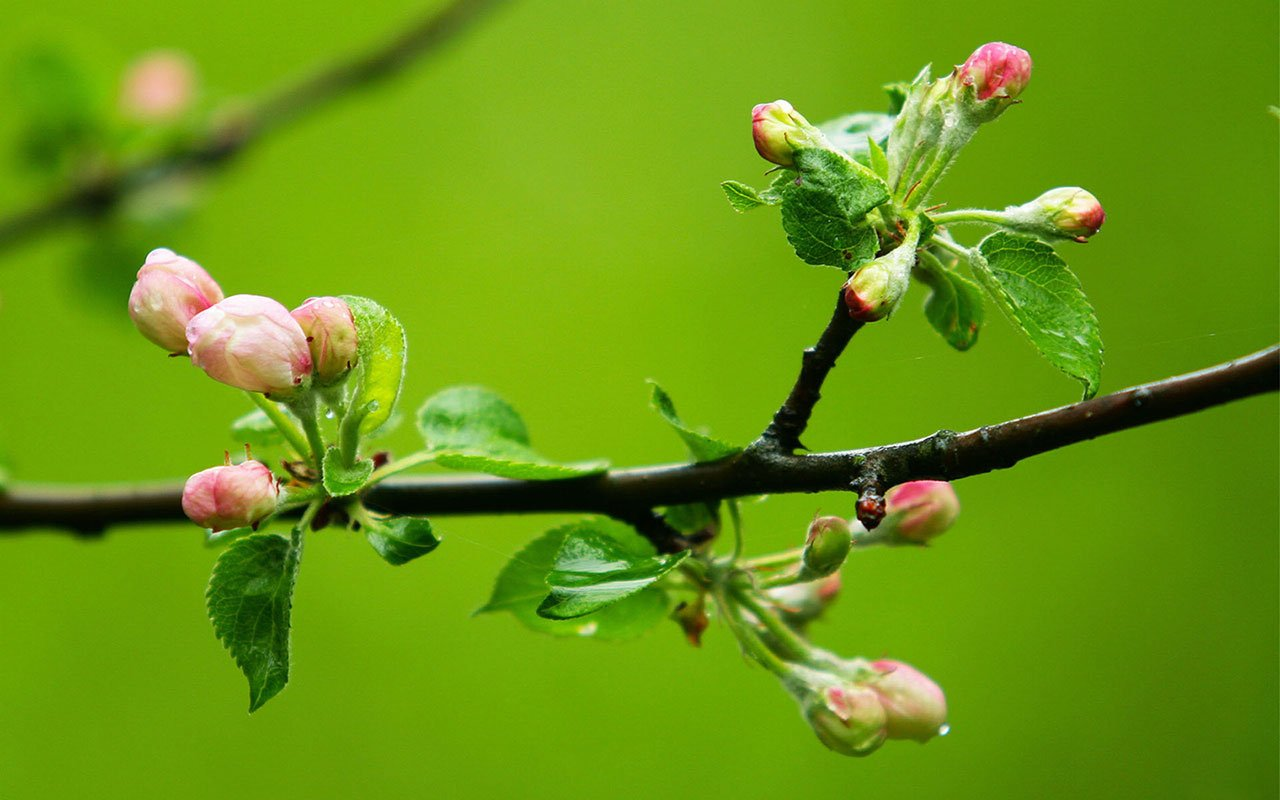 spring branches bud hd wallpapers 9 spring branches bud wallpaper bud 1280x800
