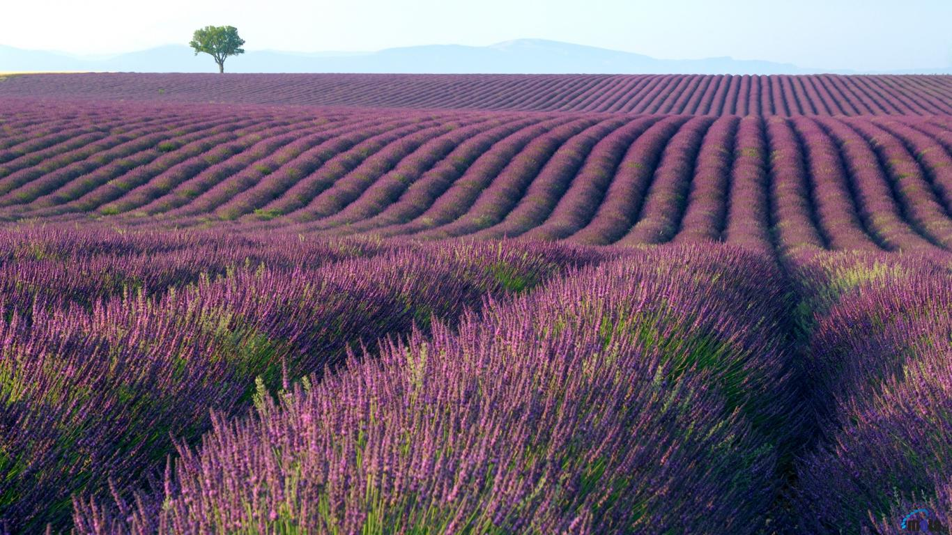 Download Wallpaper Lavender fields 1366 x 768 Desktop wallpapers 1366x768