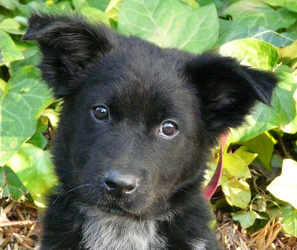 Download Westside German Shepherd Rescue Of Los Angeles 600x505