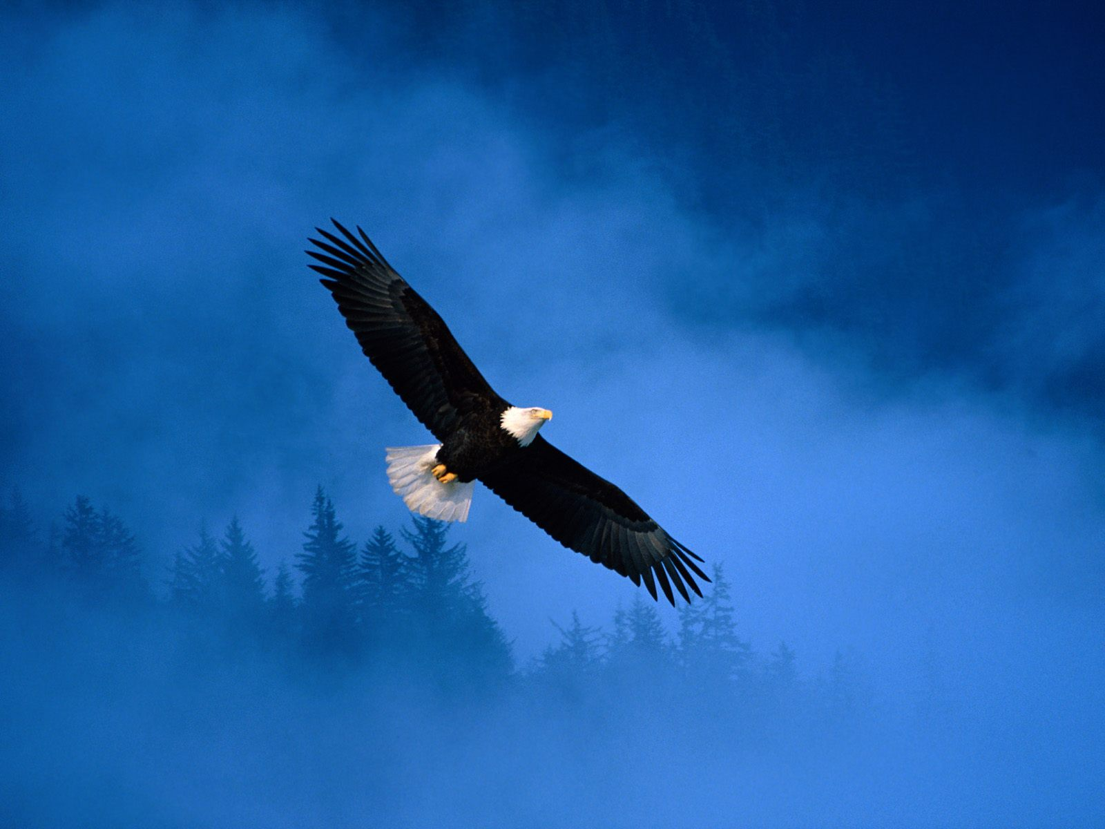 Flight of Freedom Bald Eagle Wallpapers HD Wallpapers 1600x1200