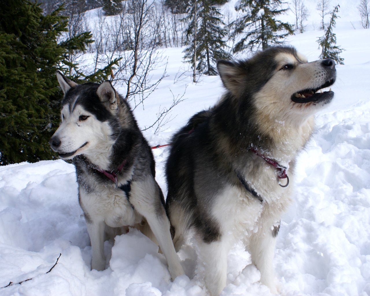 Siberian Husky dogs in the snow wallpaper 1280x1024