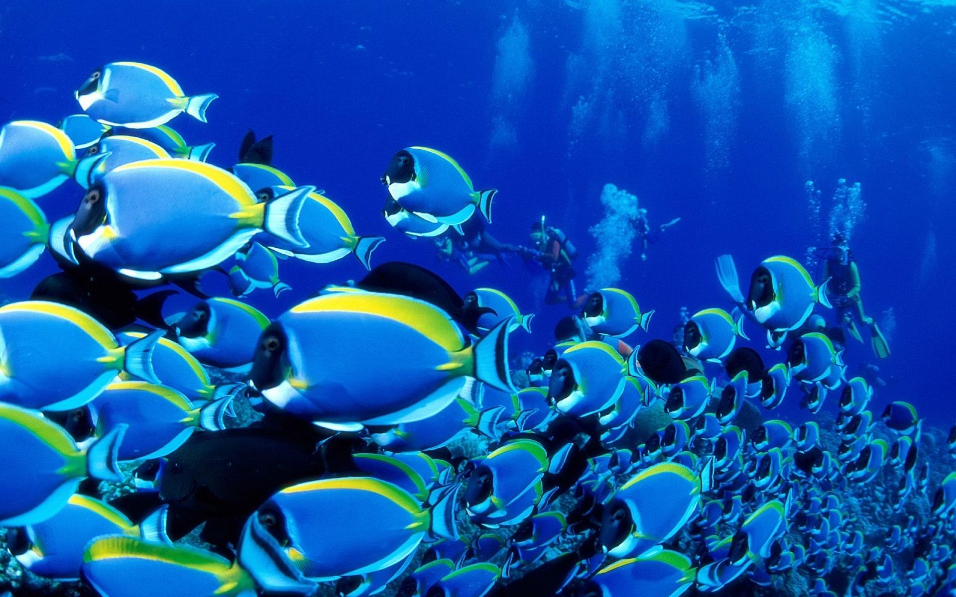 saltwater fish powder blue tang fish 1600x1200 wallpaper Wallpaper 1920x1200