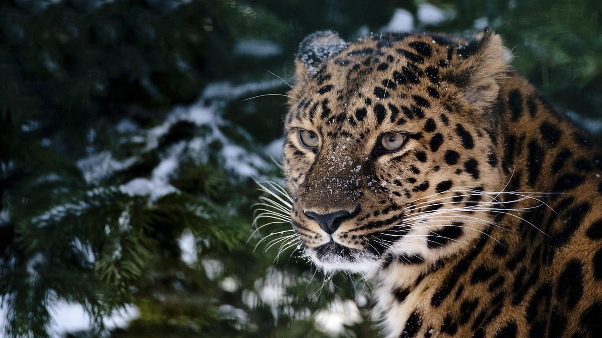 Snow Leopard Hd Wallpaper Wallpapersafari