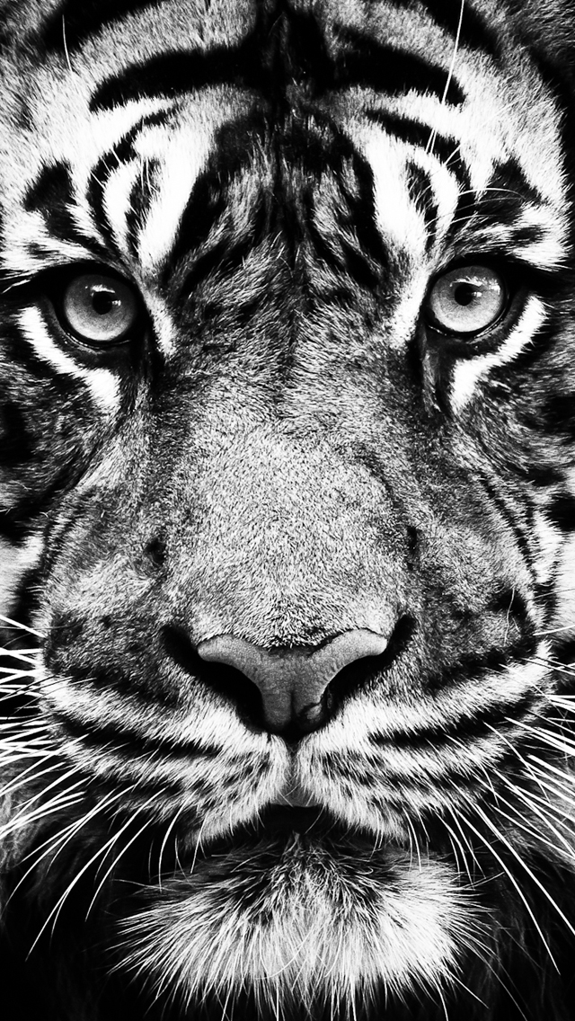 Tiger Wallpaper 640x1136