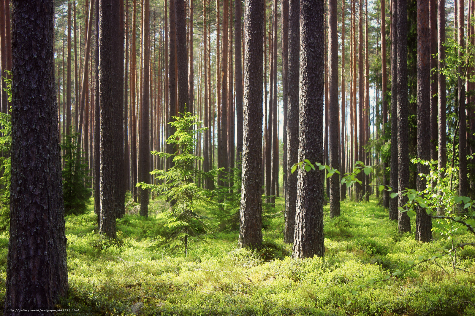 wallpaper trees forest wallpapersafaridownload wallpaper trees forest tree desktop wallpaper in the 1600x1066