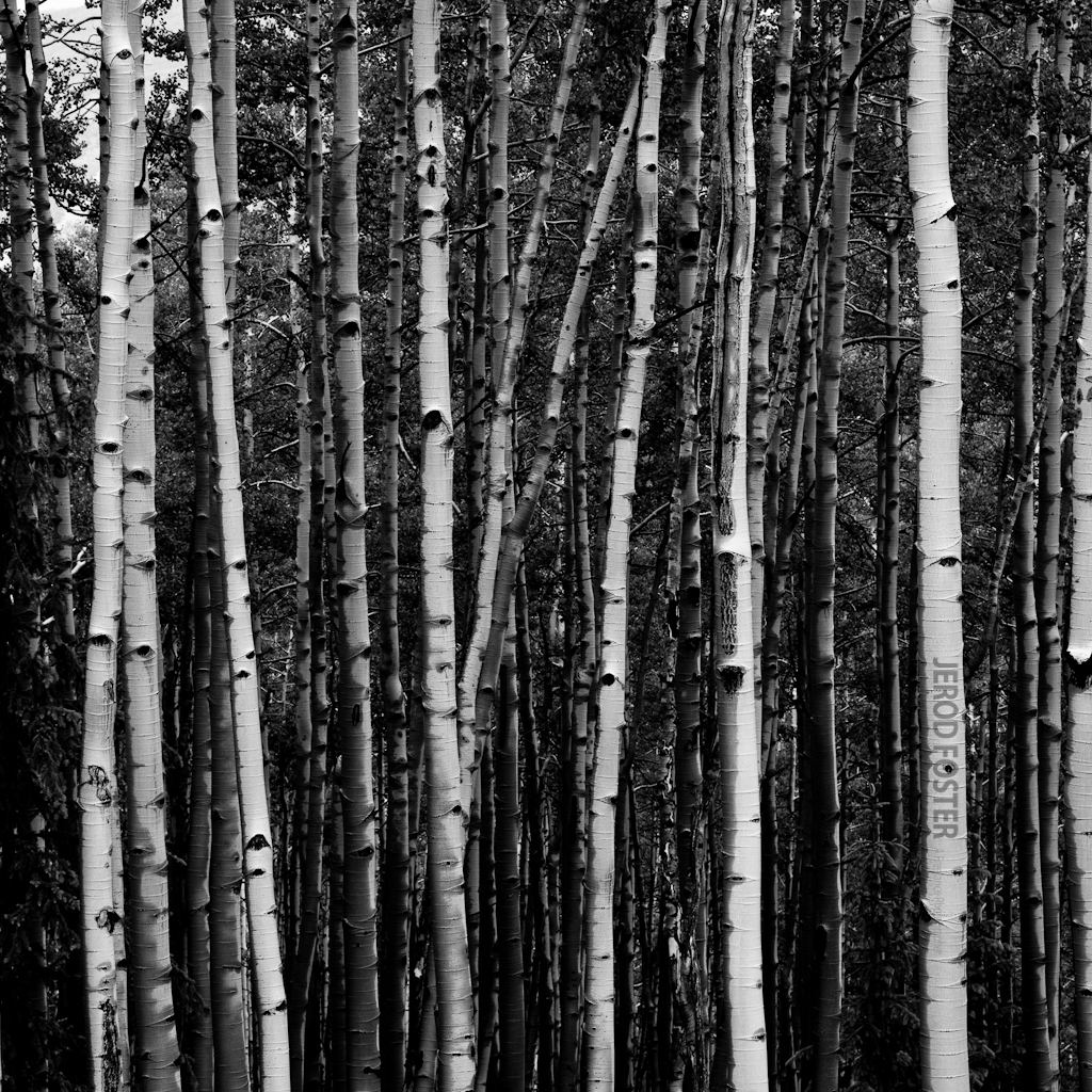 aspen tree wallpaper wallpapersafari