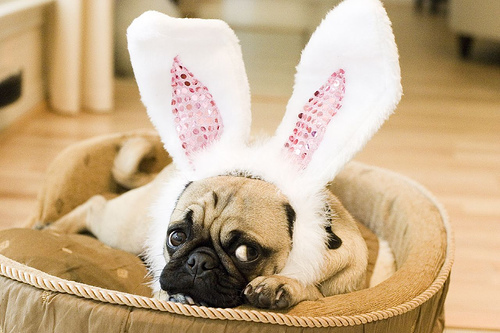 Easter Pug in the basket photo and wallpaper Beautiful Easter Pug in 500x333