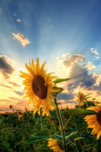 Sunflower Field IPhone HD Wallpaper Download 340x510