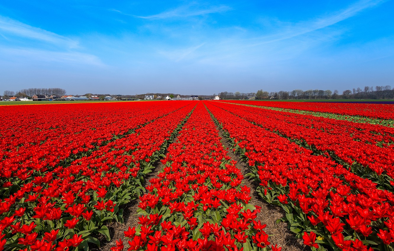 Wallpaper field flowers blue bright spring tulips red 1332x850