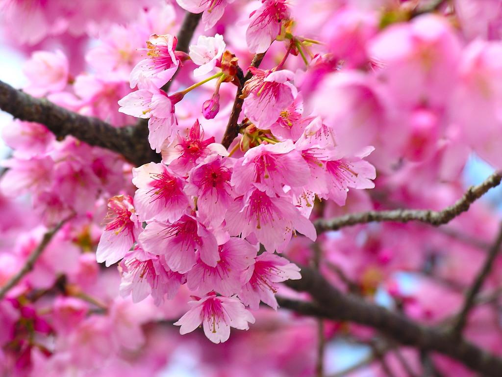 Cherry Blossom Wallpaper Desktop Cherry Cherries 1024x768