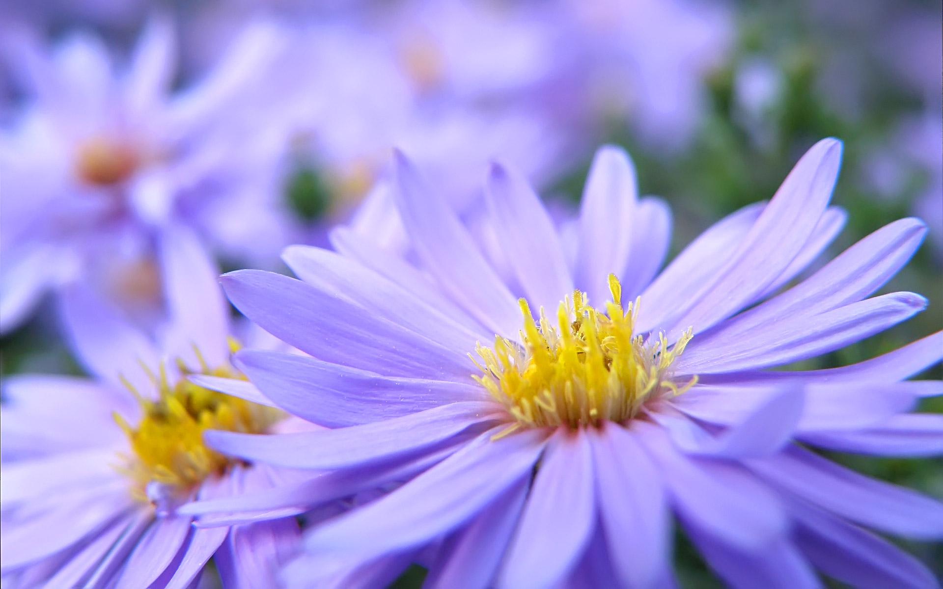 Pretty Violett Flowers Wallpapers HD Wallpapers 1920x1200