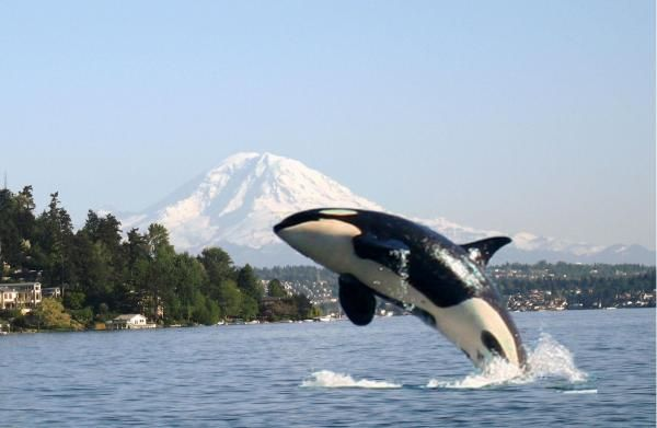 Pacific Northwest Breach Orcas Whales Watches Washington Seattle 600x391