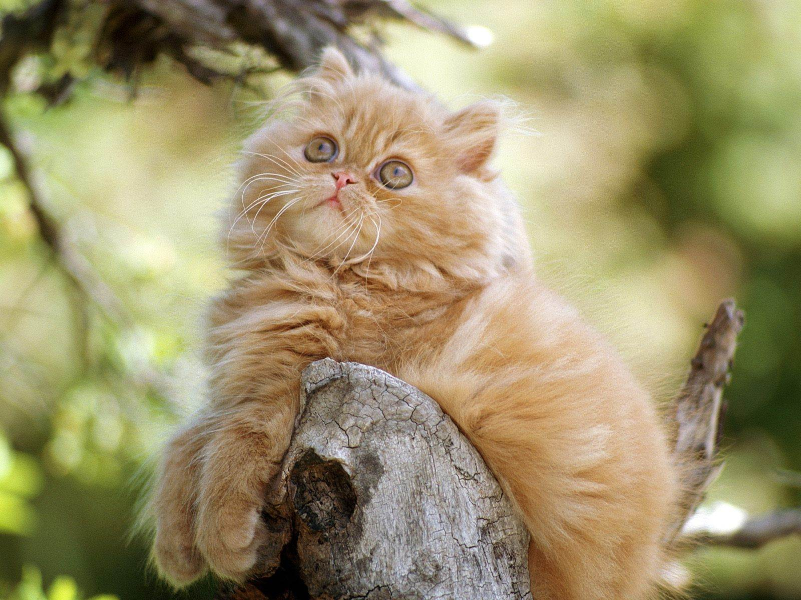 Wallpapers Backgrounds   orange persian kittens Funny Cat Wallpapers 1600x1200