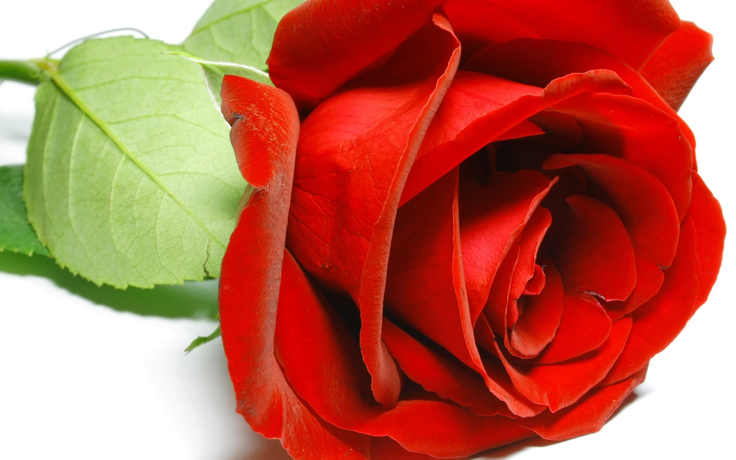 pictures of roses - HD2560×1600