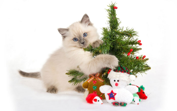 My Top Collection Christmas cat wallpaper 4 700x438