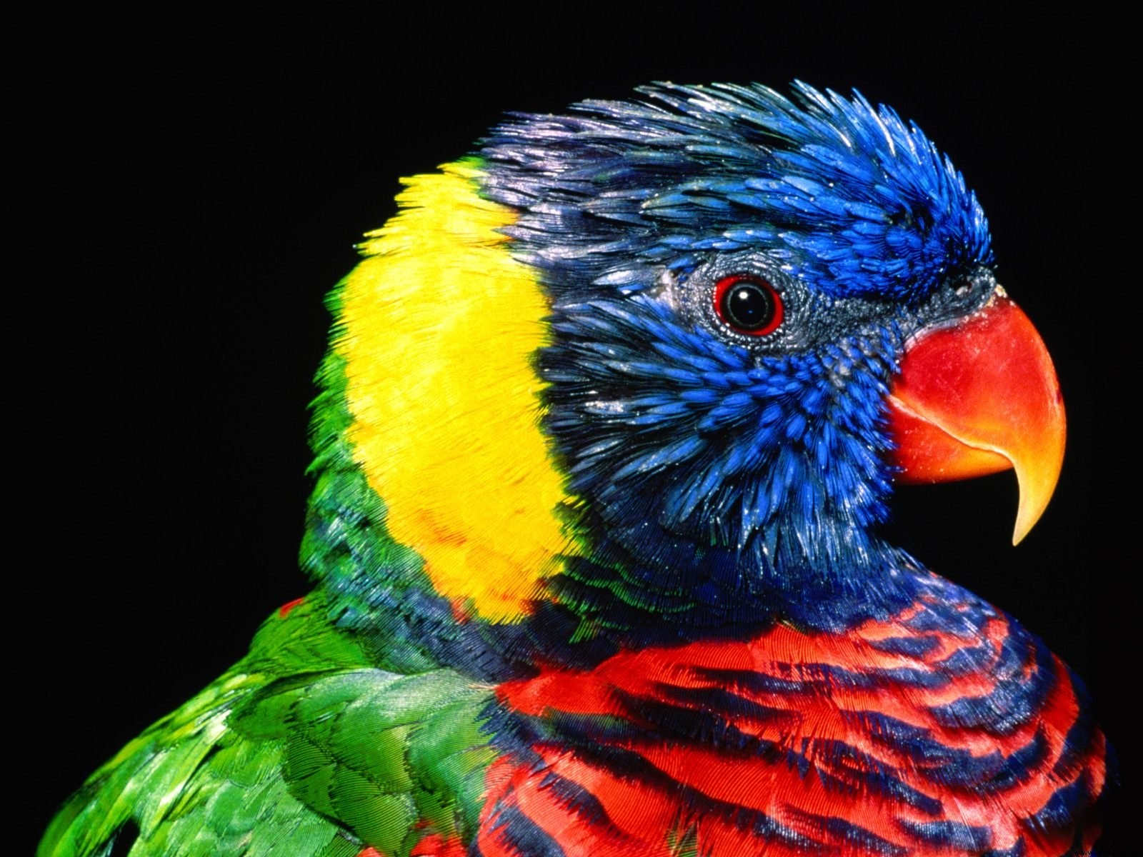 Rainbow Colorful Parrot Bird Wallpaper HD Wallpapers 1600x1200