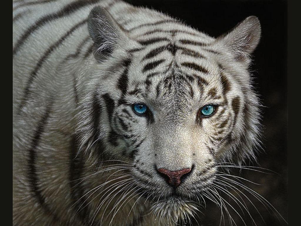 White Tiger Hd Wallpaper - WallpaperSafari  White Tiger Hd ...
