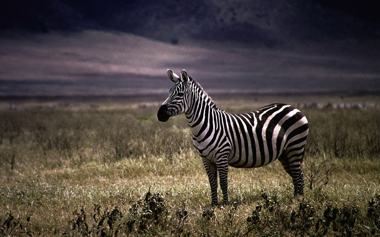 Zebra Animal HD Wallpaper Background Images 1280x800