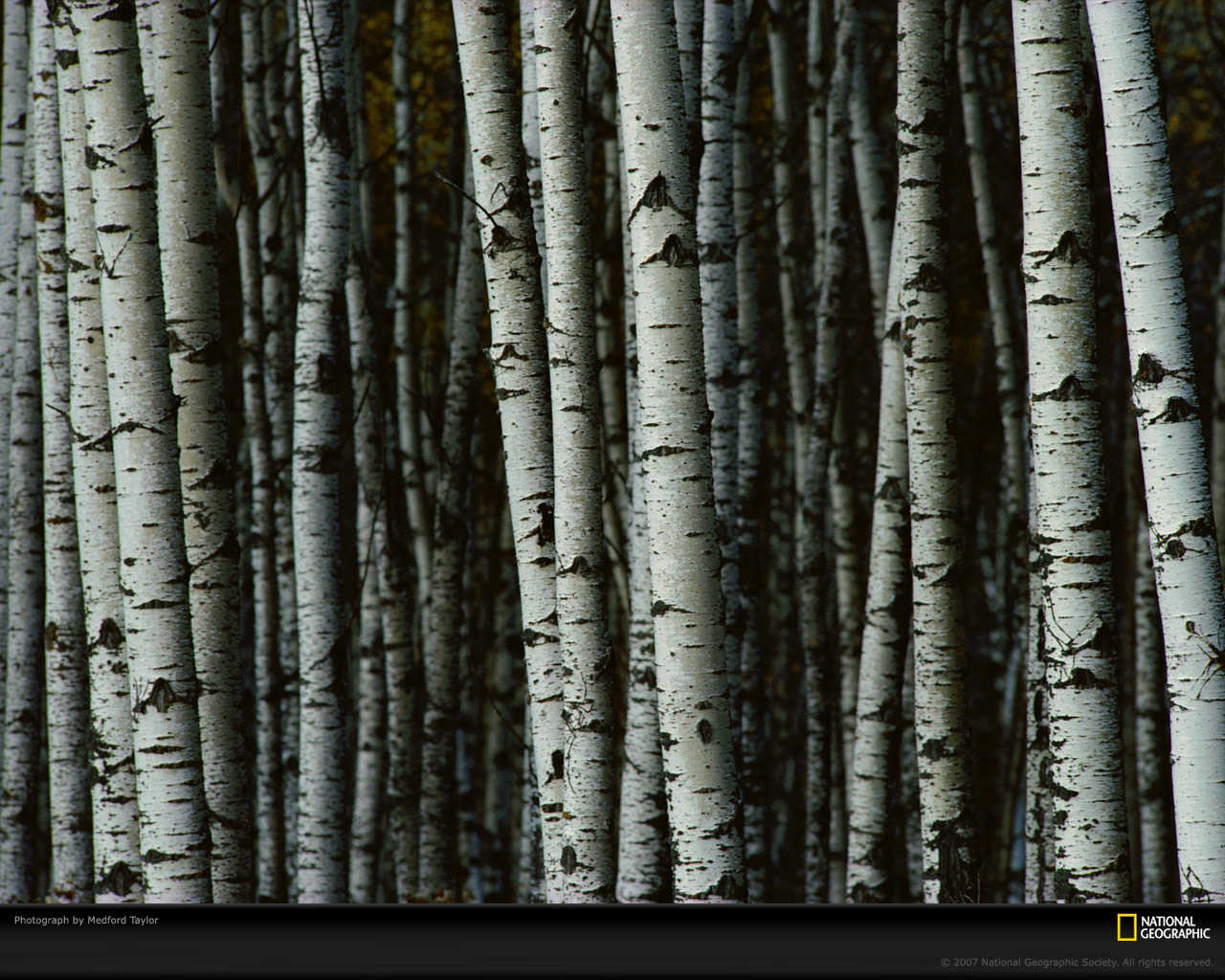White Birch Trees Picture White Birch Trees Desktop Wallpaper 1280x1024