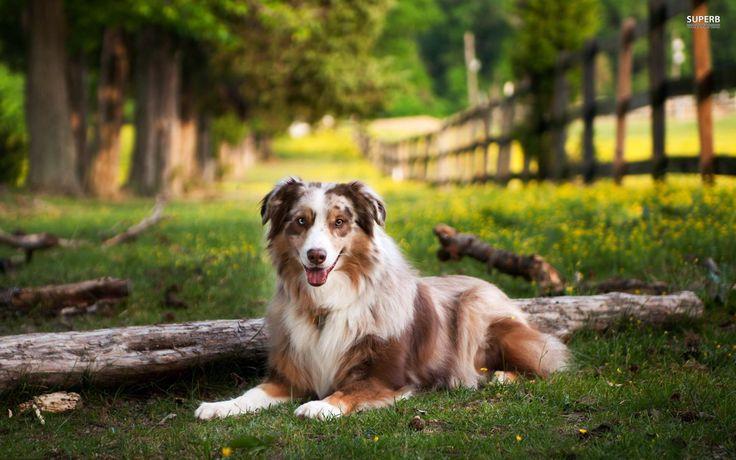 Australian Shepherd dog art portraits photographs information and 736x460