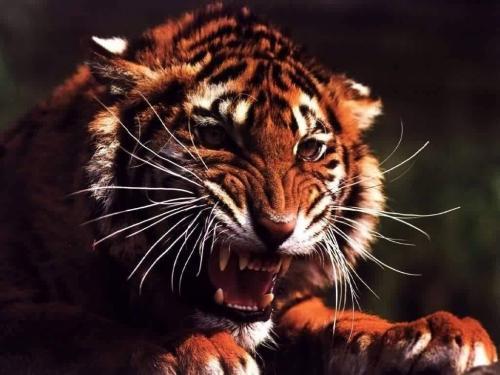 Tough Tiger Wallpaper 500x375
