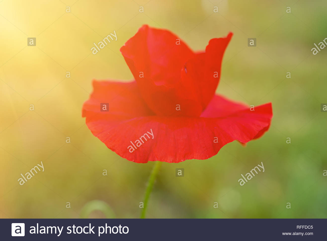 Red poppy flowers blooming in the green grass field floral 1300x957