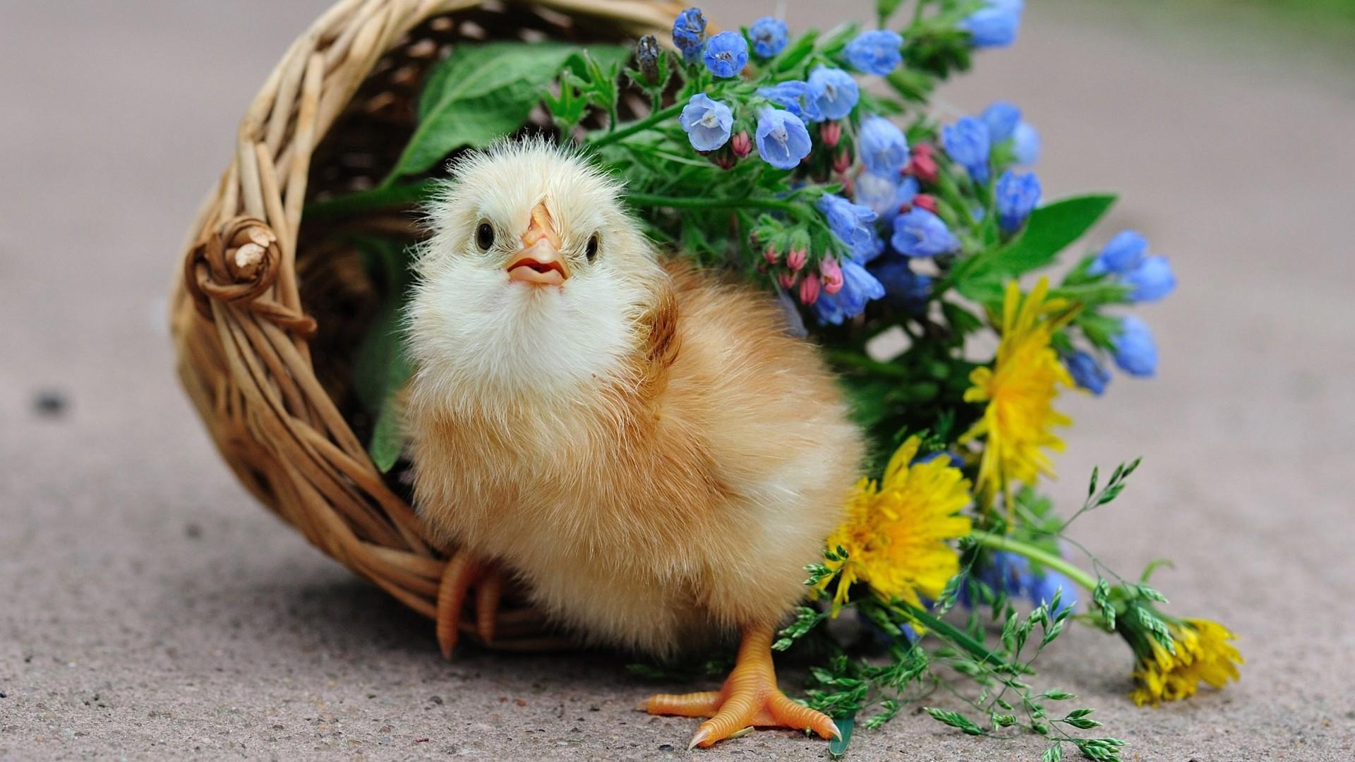 Flowers Birds Wallpaper 1920x1080 Flowers Birds Baskets Chicks 1920x1080